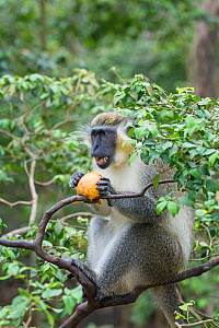 Green monkey (Chlorocebus sabaeus) feeding in tree, Barbados.  -  Adrian Davies