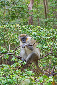 Green monkey (Chlorocebus sabaeus) in tree, Barbados.  -  Adrian Davies