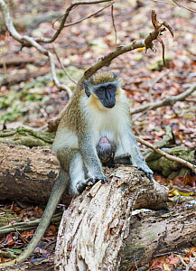 Green monkey (Chlorocebus sabaeus) female, with young, Barbados.  -  Adrian Davies