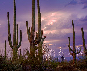 Lightning storm at twilight with Saguaro cactus (Carnegiea gigantea) Avra Valley, Saguaro National Park, Tucson Mountains, Arizona, USA. June 2015. Long exposure with lightning trigger.  -  Jack  Dykinga