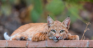 American bobcat (Lynx rufus baileyi) resting on patio, Santa Catalina Mountains, Coronado National Forest, Tucson, Arizona, USA, July.  -  Jack  Dykinga