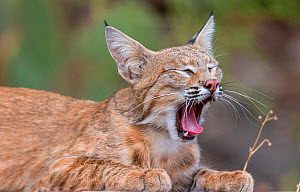 American bobcat (Lynx rufus baileyi) yawning and resting. Santa Catalina Mountains, Coronado National Forest, Tucson, Arizona, USA, July.  -  Jack  Dykinga