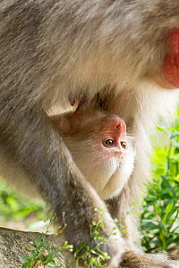 Japanese macaque (Macaca fuscata fuscata) mother carrying rare white furred baby on belly, Jigokudani Valley,  Nagano Prefecture, Japan. June. - Yukihiro  Fukuda