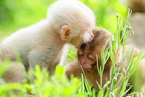 Japanese macaque (Macaca fuscata fuscata) rare white furred baby playing with another baby. Jigokudani Valley,  Nagano Prefecture, Japan. June.  -  Yukihiro  Fukuda