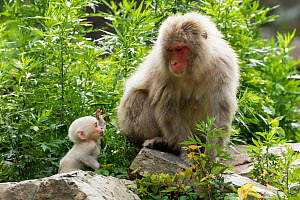Japanese macaque (Macaca fuscata fuscata) mother with rare white furred baby, Jigokudani Valley,  Nagano Prefecture, Japan. June. - Yukihiro  Fukuda