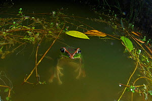Yunnan flying frog (Rhacophorus gongshanensis) swimming at night, Gaoligong Mountain National Nature Reserve, Tengchong county, Yunnan Province, China. May. - Dong Lei