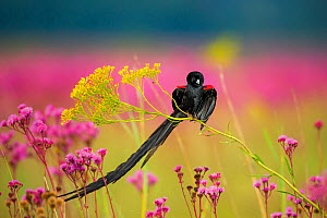 Longtailed widowbird (Eupletes progne) male perched in flowers, Rietvlei Nature Reserve, South Africa. - Richard Du Toit