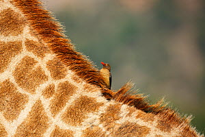 Red-billed oxpecker (Buphagus erythrorhynchus) on back of South African giraffe (Giraffa camelopardalis giraffa),  Itala Game Reserve, KwaZulu-Natal.  -  Richard Du Toit
