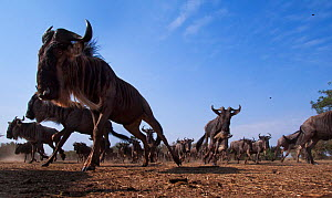 Blue wildebeest herd running (Connochaetes taurinus) remote camera with wide  angle perspective. Maasai Mara National Reserve, Kenya.  -  Anup Shah