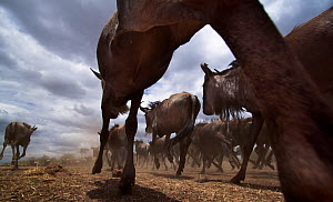 Blue wildebeest (Connochaetes taurinus) herd running remote camera with wide  angle perspective. Maasai Mara National Reserve, Kenya.  -  Anup Shah