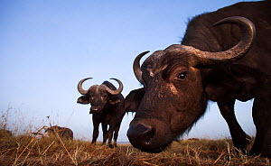 African buffalos (Syncerus caffer) approaching camera with curiosity, wide angle perspective, Maasai Mara National Reserve, Kenya.  -  Anup Shah