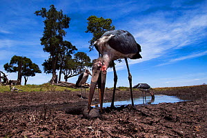 Marabou storks (Leptoptilos crumeniferus) feeding on catfish in waterhole, wide angle view. Maasai Mara National Reserve, Kenya.  -  Anup Shah