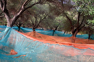 Net under Olive trees (Olea europaea) for harvesting olives, Sainte-Lucie-de-Tallano, Corsica Island, France, September - Pascal Pittorino