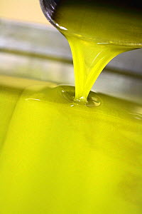 Trickle of Olive (Olea europea) oil produced by mill, Var, Provence, France, December.  -  Pascal Pittorino