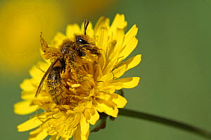 European honey bee (Apis mellifera) collecting pollen and nectar from Dandelion flower (Taraxacum vulgaria) Toulon, Var, Provence, France, April. - Pascal Pittorino