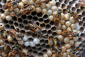 Paper wasps (Polistes gallicus) on nest, Var, Provence, France, June.  -  Pascal Pittorino