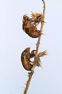 Exoskeletons (exuvium) of Cicadas (Lyristes plebejus)  against white background, Var, Provence, France, July. - Pascal Pittorino