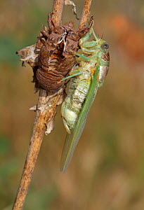 Cicada (Lyristes plebejus) resting on branch after emergence from nymph skin, Toulon, Var, Provence, France, July - Pascal Pittorino