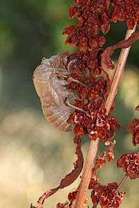 Exoskeleton (exuvium) of Common cicada (Lyristes plebejus)  on Curly dock (Rumex crispus) plant after emergence, Var, Provence, France, July - Pascal Pittorino