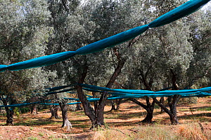 Net under the olive trees (Olea europaea) for havesting olives, Sainte-Lucie-de-Tallano, Corsica Island, France, September.  -  Pascal Pittorino