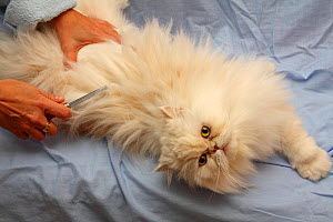 Owner brushing white persian cat (Felis catus) Toulon, Var, Provence, France, December - Pascal Pittorino