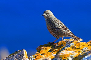 Alpine accentor (Prunella collaris) on rock, with the sea in the background, Corsica, France, February.  -  Pascal Pittorino