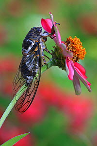 Cicada (Lyristes plebejus) resting on Marigold flower (Tagetes sp) in botanic garden, Var, Provence, France, July. - Pascal Pittorino