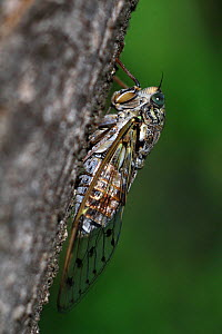 Cicada (Cicada orni) resting on a trunk, Var, Provence, France, July - Pascal Pittorino