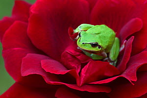 Mediterranean tree frog (Hyla meridionalis) resting on a Red rose (Rosa sp) in organic garden, Toulon, Var, Provence, France, May.  -  Pascal Pittorino