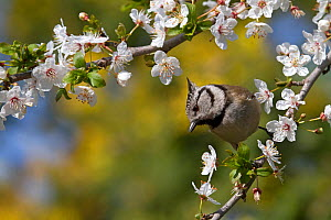 Crested tit (Parus cristatus) perched on a branch of plum blossom (Prunus domestica) in a garden, Var, Provence, France, March.  -  Pascal Pittorino