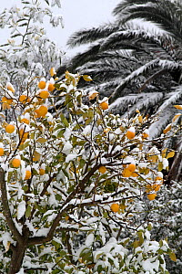 Lemon tree (Citrus limon) covered in snow, Var, Provence, France, February.  -  Pascal Pittorino