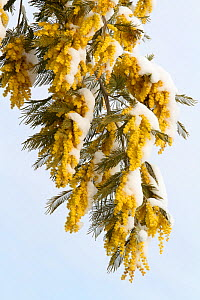 Mimosa (Acacia dealbata) flowers covered in snow , Var, Provence, France, February  -  Pascal Pittorino