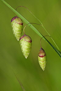 Greater quaking grass (Briza maxima) flowers, Giens, Var, Provence, France, May.  -  Pascal Pittorino