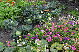 Cabbage plants (Brassica oleracea capita) growing in a garden with flowers, Cevennes, Lozere, France, October. - Pascal Pittorino