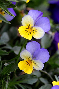 Horned pansy (Viola cornuta)  in botanic garden, Var, France, March.  -  Pascal Pittorino