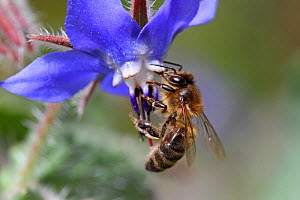 European honey bee (Apis mellifera) collecting pollen and nectar from Borage (Borago officinalis) Var, Provence, France, March.  -  Pascal Pittorino