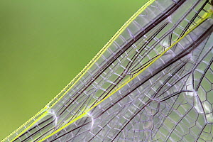 Emperor Dragonfly  (Anax imperator) close up of wings, Var, Provence, France, May. - Pascal Pittorino
