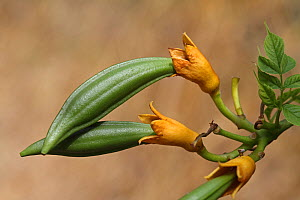 Trumpet creeper (Campsis radicans) fruit developing, Var, Provence, France, July. - Pascal Pittorino