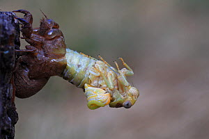 Cicada (Lyristes plebejus) during final moult, Toulon, Var, Provence, France, July, Sequence 1/5. - Pascal Pittorino