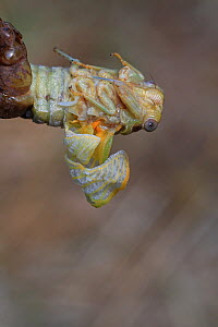 Cicada (Lyristes plebejus) during final moult, Toulon, Var, Provence, France, July, Sequence 2/5. - Pascal Pittorino