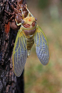Cicada (Lyristes plebejus) during final moult, Toulon, Var, Provence, France, July. Sequence 5/5. - Pascal Pittorino