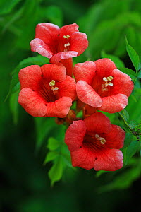 Trumpet creeper / vine (Campsis radicans)  flowers,  in botanic garden, Var, Provence, France, June - Pascal Pittorino