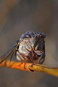 Cicada (Lyristes plebejus) resting on a dry grass in a garden, Var, Provence, France, July. - Pascal Pittorino