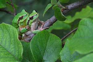 Mediterranean tree frogs (Hyla meridionalis) mating on a branch of Quince tree (Cydonia oblonga) Var, Provence, France, April.  -  Pascal Pittorino