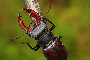 Stag beetle (Lucanus cervus) male resting on a branch, Close up, Lozere, Cevennes, Languedoc Roussillon, France, July. - Pascal Pittorino