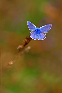 Adonis blue butterfly (Lysandra bellargus) male resting on a grass, Lozere, Cevennes, France, July. - Pascal Pittorino