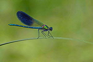 Beautiful demoiselle damselfly male  (Calopteryx virgo) perching on look out grass, Lozere, Cevennes, Languedoc-Roussillon, France, May. - Pascal Pittorino