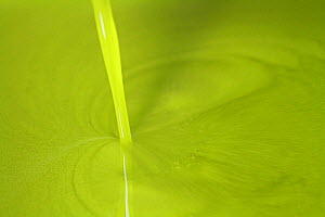 Trickle of Olive oil (Olea europea) pouring out of mill, Var, Provence, France, December.  -  Pascal Pittorino