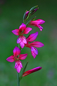 Italian gladiolus (Gladiolus italicus)  flowers in a garden, Var, France, Provence, May.  -  Pascal Pittorino