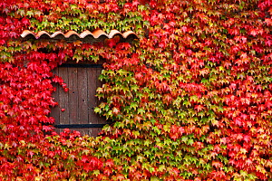 Virginia creeper (Parthenocissus quinquefolia) covering a wall of house, Rougon Village, Verdon Natural Regional Park, Alpes de Haute Provence, France, October.  -  Pascal Pittorino